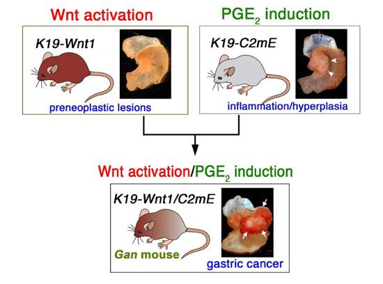 Wntシグナル亢進とPGE2経路誘導の相互作用による胃がん発生