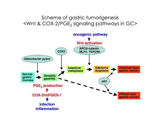 Wntシグナル亢進とPGE2経路誘導の相互作用による胃がん発生2