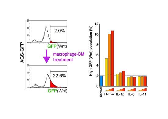 マクロファージ由来TNF-αによる胃がん細胞のWntシグナル亢進