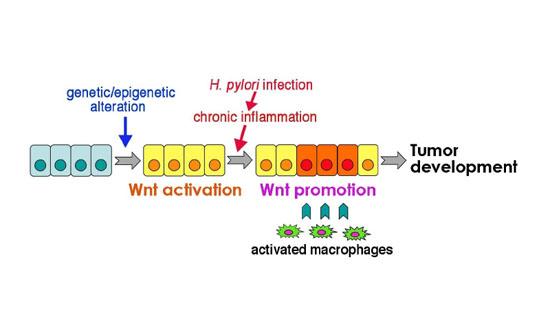 マクロファージ由来TNF-αによる胃がん細胞のWntシグナル亢進2